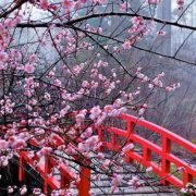 Cherry-Blossom-Festival-Japan-864x400_c