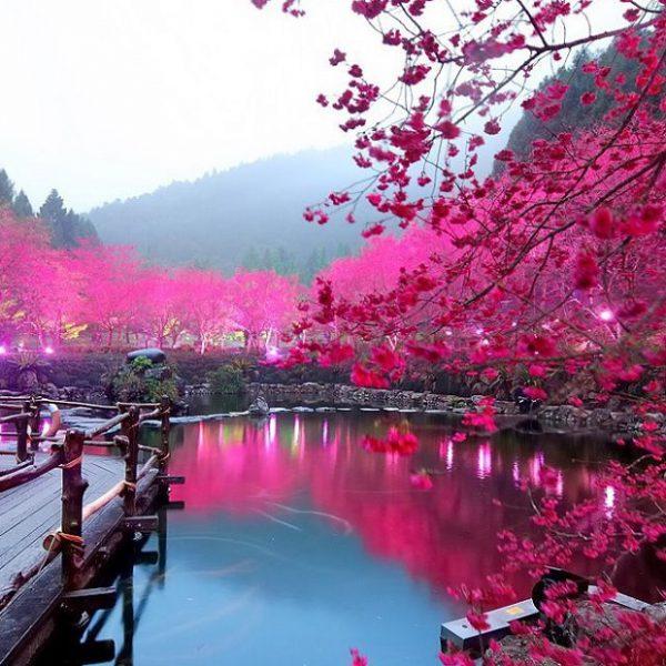 Cherry-Blossom-Festival3