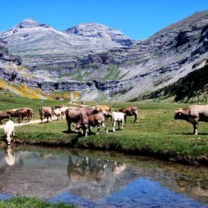 vacas-cow-en-ordesa-1-0679103b-ccb5-459f-b9a5-8c8dcb265cf2
