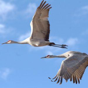 sandhill-cranes-2645334_960_720