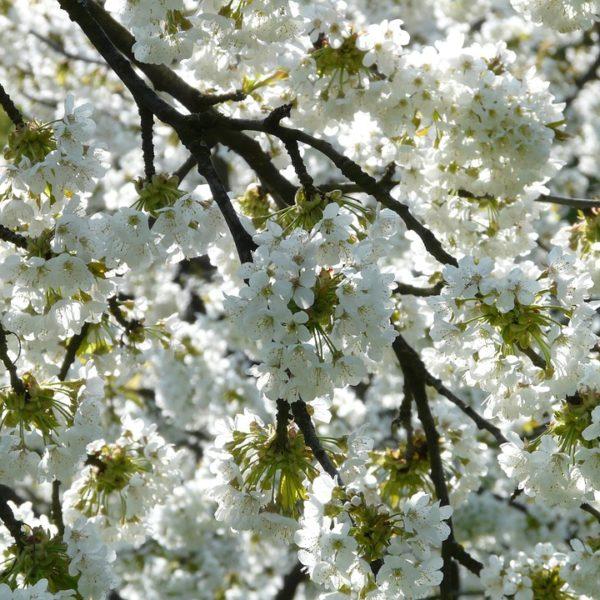 cherry-blossom-6877_960_720