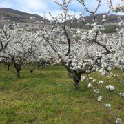 cherry-trees-735418_960_720