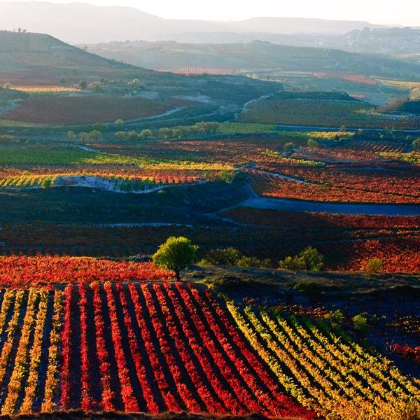 Vineyards in autumn in La Rioja, Spain.