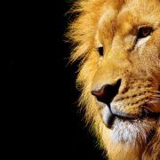 lion-2327225_1920