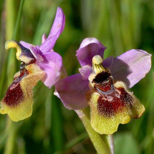 orquideas-silvestres-1