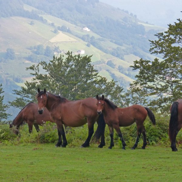 horses-3697611_1920