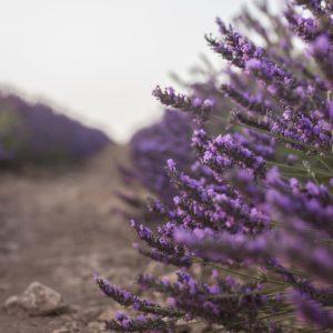 lavender-3591030_1920